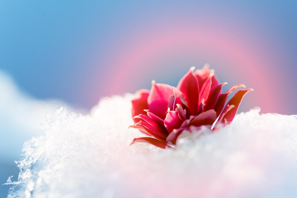 Цветок из под снега